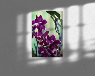 Donkere orchidee van Steffen Gierok