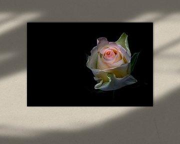 Shining beauty.... (bloem, roos, lente, liefde) van Bob Daalder