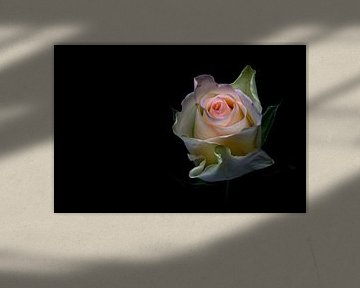 Shining beauty.... (bloem, roos, lente, liefde) von Bob Daalder