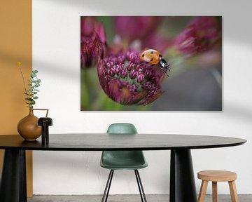 Lieveheersbeestje wandelt over een paarsrode bloem van Daan Hartog