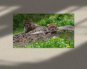 Jachtluipaard of Cheeta's : Koninklijke Burgers' Zoo van Loek Lobel