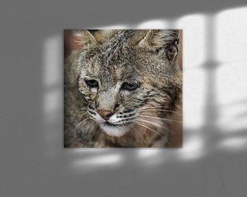 Red Lynx : Königlicher Bürgerzoo von Loek Lobel