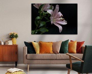 Blühende rosa Lilie auf schwarzem Hintergrund von Idema Media