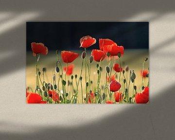 Mohnblumen von Renate Dohr