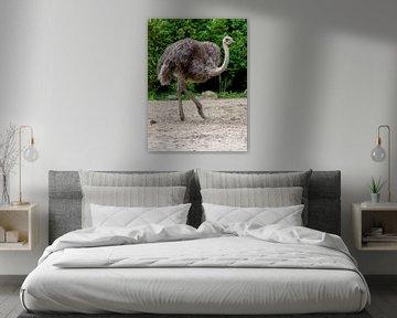Struisvogel : DierenPark Amersfoort van Loek Lobel