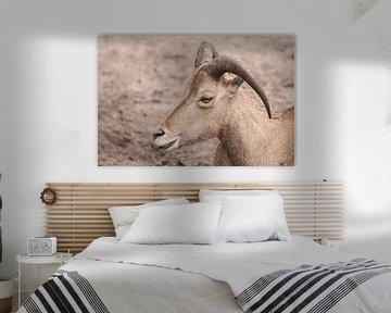 Männliche Schafe : Tierpark Amersfoort von Loek Lobel