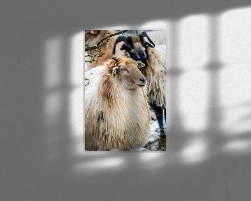 Schafe in der Kälte von Fred Leeflang