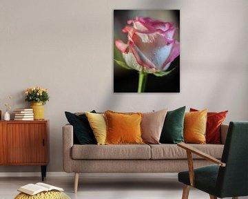 Rose von Maxpix, creatieve fotografie