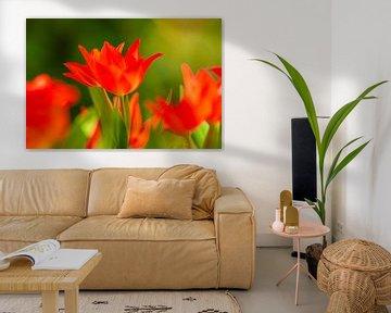 Leuchtende Tulpen von Monika Scheurer