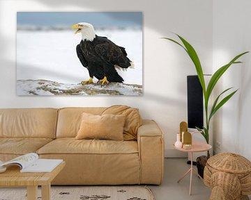Weißkopfseeadler II von Harry Eggens