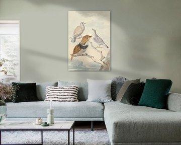 Drei Vögel, zwei Inkatauben und ein bärtiger Kuckuck mit Halsband, Aert Schouman