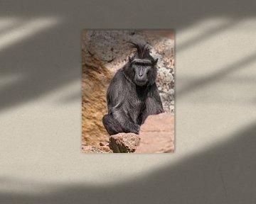 Gefärbter Makake : Tierpark Blijdorp von Loek Lobel