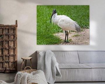 Heiliger Ibis : Tierpark Blijdorp von Loek Lobel
