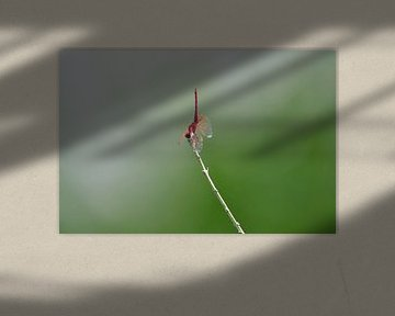 Roter Riffbarsch-Handstand von Martin Jansen