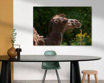 Kamel : Tierpark Blijdorp von Loek Lobel