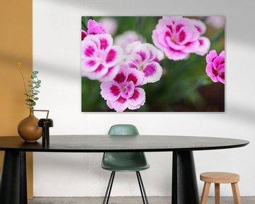Pink Kisses, Nahaufnahme Pflanze Dianthus von Nicole