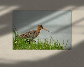 Grutto in het gras aan de waterkant van Petra Vastenburg