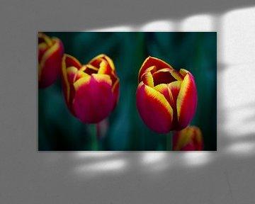 Rot-gelbe Tulpen von Harold Versteeg