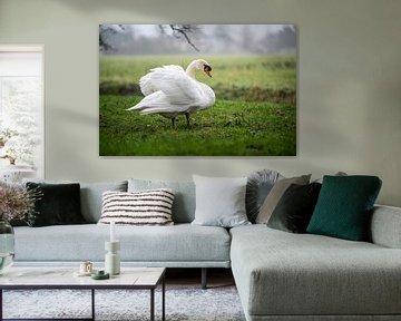 Zwaan in het veld van Roland de Zeeuw fotografie