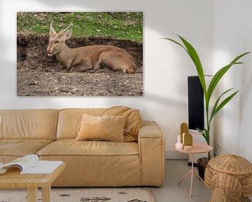 Wildschwein oder Schweinehirsch : Königlicher Burgers Zoo von Loek Lobel
