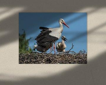 Storch : Safaripark Beekse Bergen von Loek Lobel