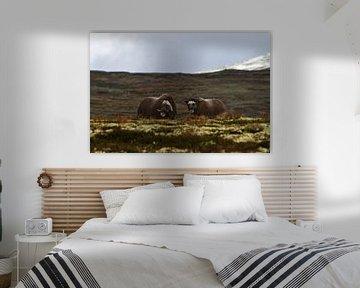 2 Muskos ossen in Dovrefjell nationaal park, Noorwegen van Geke Woudstra