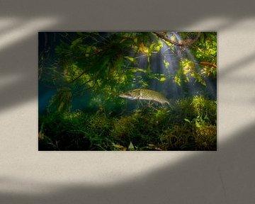 Snoek in de jungle van Filip Staes