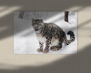 Mooi zit en kijkt. Sneeuwluipaard van Michael Semenov