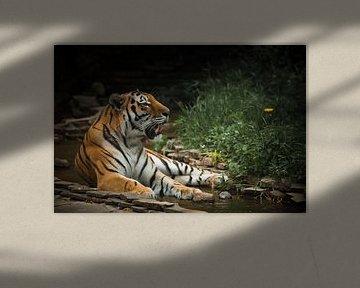 Ein schöner Tiger, eine große Raubkatze von Michael Semenov