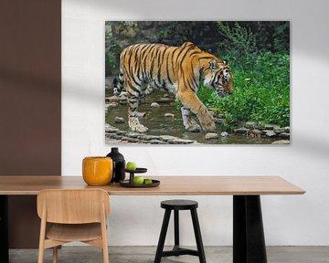 Ein schöner Tiger, eine große Raubkatze auf dem Hintergrund eines Baches und eines satten smaragdgrü von Michael Semenov