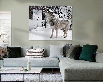 Das Lied des Wolfes. Ein Wolfsweibchen heult (heulend, schreiend), hebt die Schnauze nach oben und ö von Michael Semenov