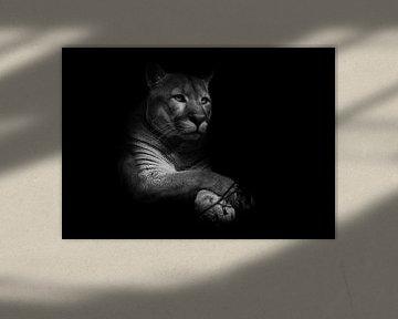 Een trotse mooie roofkat zit in de duisternis. kat in het nachtbos, zwarte achtergrond. Puma (poema) van Michael Semenov
