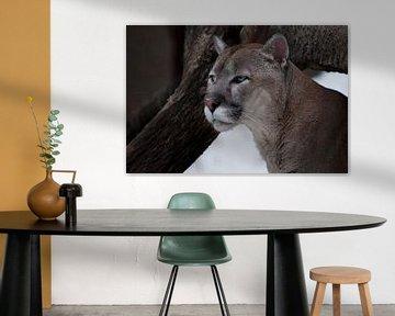 Der anmutige Kopf eines anmutigen Pumas - eine schöne Raubkatze, in Nahaufnahme vor dem Hintergrund  von Michael Semenov