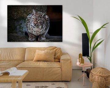Luchs ist eine große Wildkatze, die ironisch aussieht, der dunkle Hintergrund sind die klaren Augen  von Michael Semenov