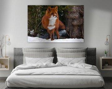 Schöner roter und sehr flauschiger Fuchs auf dem Hintergrund von Fichten und weißem Schnee in Nahauf von Michael Semenov