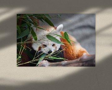 Süßer roter Panda (kleiner Panda)Unter dem Laub des Bambus. auf den Zweigen eines Baumes. Nahaufnahm von Michael Semenov