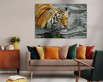 Schleicht sich an und leckt. Junger schöner Tiger mit ausdrucksvollen Augen geht auf dem Wasser (bad von Michael Semenov