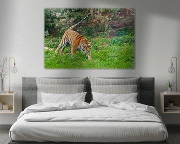 Tiger auf Grün, Schwanz abstehend. Junger schöner Tiger springt geschickt auf grünes Gras, ein Tier  von Michael Semenov