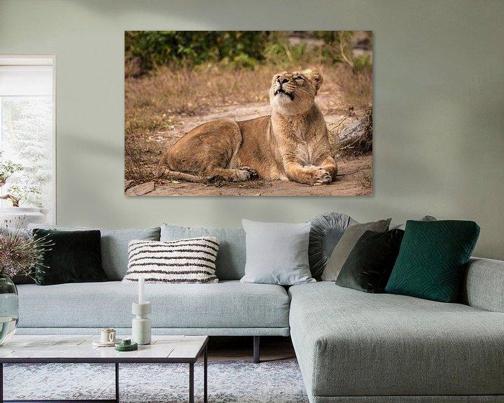 Sfeerimpressie: Trots ligt op de grond in een struik. Leeuwin vrouwtje is een grote roofzuchtige sterke en mooie Afr van Michael Semenov