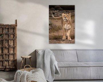 Leeuwin kijkt en snuift. Leeuwin vrouwtje is een grote roofzuchtige sterke en mooie Afrikaanse kat. van Michael Semenov
