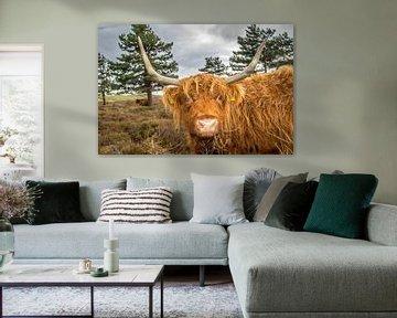 Portret Schotse Hooglander koe van Johan Habing