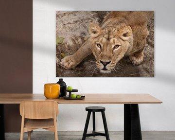 une tentative. Le regard assoiffé d'un grand chat prédateur d'une lionne femelle de bas en haut, les sur Michael Semenov