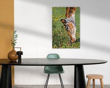 Kopf einer Giraffe in Nahaufnahme auf grünem Hintergrund. Ein süßes Tier frisst mit gesenktem Kopf G von Michael Semenov