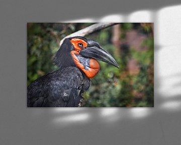 Kluger Vogel. Afrikanischer Vogel. Südlicher Bodenhornvogel auf grünem Gras, riesiger Schnabel, pfif von Michael Semenov