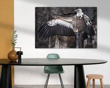 De Griffon Gier zit prachtig, spreidt zijn enorme vleugels met lange veren, aasetvogel, de vleugels  van Michael Semenov