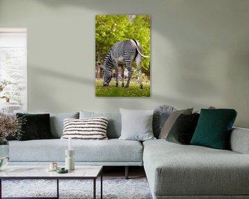 Ein gestreiftes Zebra mit umgedrehtem Rücken grast auf grünem Gras. erotisches Pferd von Michael Semenov