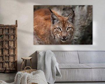 Snuit van een mooie grote kattenlynx van dichtbij. grote expressieve kattenogen, blik van een roofka van Michael Semenov