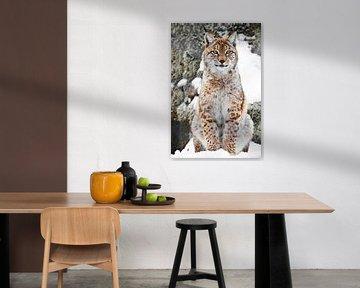 Een mooie en sterke wilde lynx zit rechtop in de sneeuw. Lynx kijkt naar je. van Michael Semenov