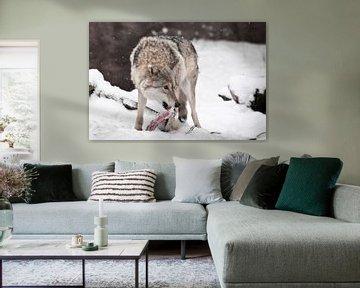 Roofzuchtige wolf met een stuk vlees in de mond die angstig om zich heen kijkt, bang om zijn prooi t van Michael Semenov
