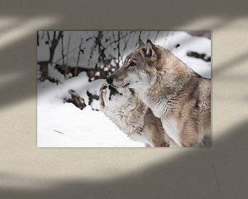 Paix et amour entre les loups, la louve femelle lèche son visage à son époux au loup. L'hiver, les c sur Michael Semenov
